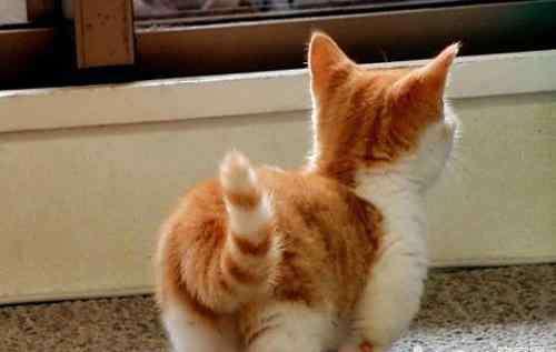 猫咪尾巴情绪图 猫咪的尾巴能说明很多问题