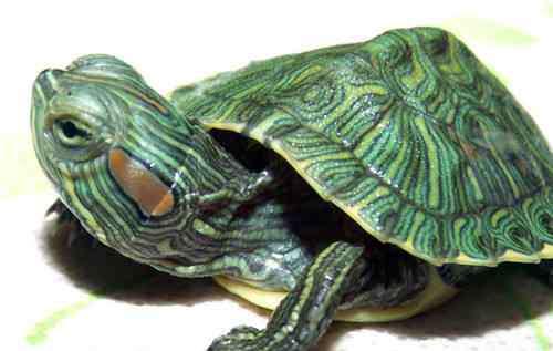 巴西龟冬眠 巴西龟的四种冬眠方式