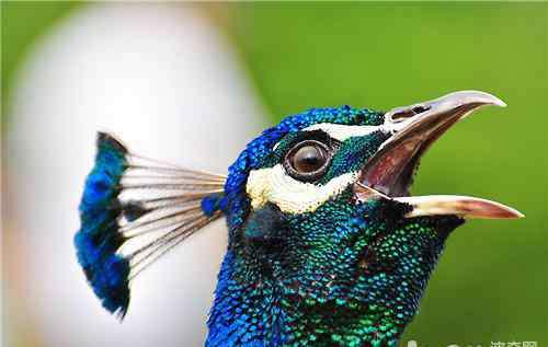 养殖孔雀 家庭饲养孔雀的注意事项