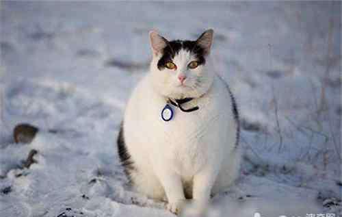 太胖怎么办 宠物猫太胖了怎么办?