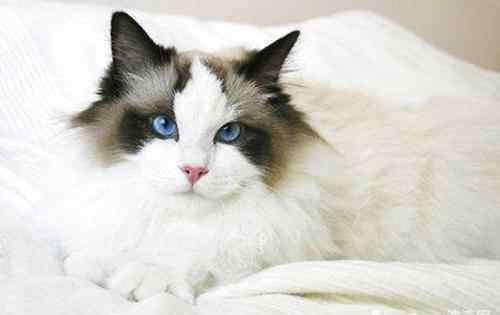 猫咪吐毛球是什么样的 让猫咪吐毛球的方法汇总