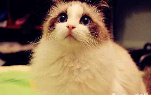 muffie 布偶猫有哪些习性