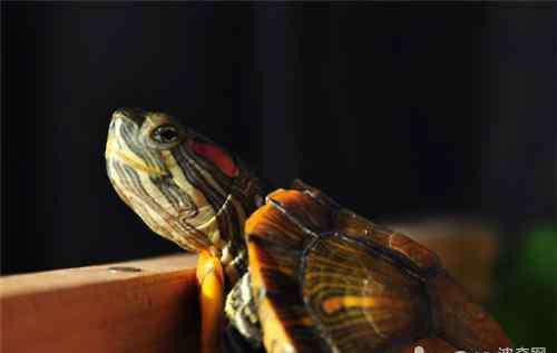 养巴西龟的水位图解 巴西龟饲养水位建议