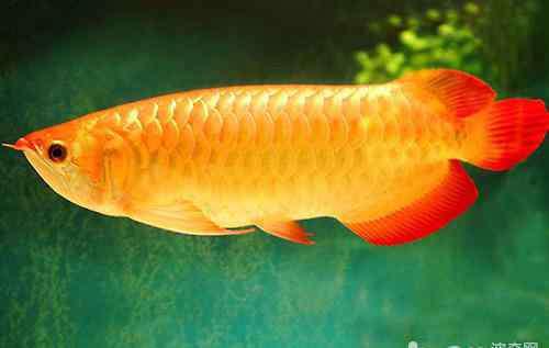 龙鱼趴缸是什么原因 龙鱼常见疾病有哪些?