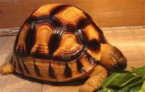 脐炎怎么治疗 宠物龟脐炎的症状及防治