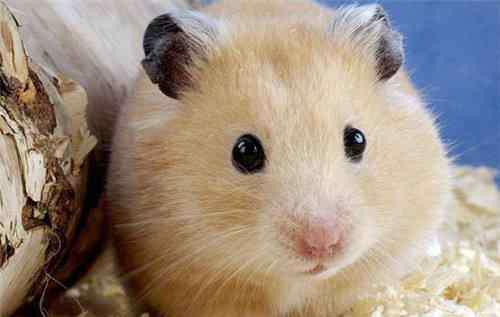 仓鼠死了的姿势 揭秘仓鼠的假死行为