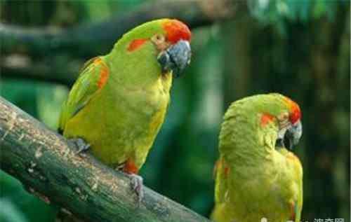 鹦鹉信任主人的表现 常见的鹦鹉肢体语言解读