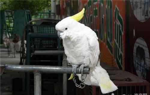 中暑的表现 鹦鹉中暑的症状表现