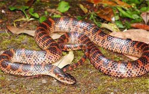 赤练蛇有毒吗 赤练蛇能上手吗?