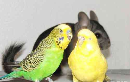 鹦鹉怎么表达喜欢你 理解鹦鹉的行为