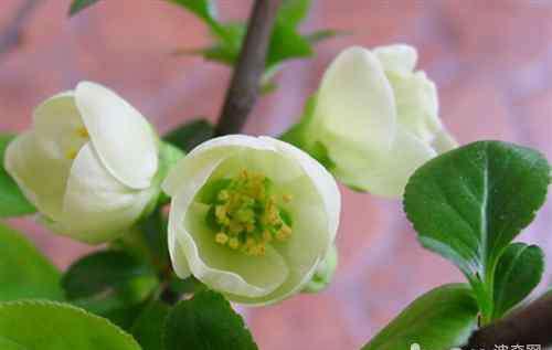 含笑花 含笑花的养护要点介绍