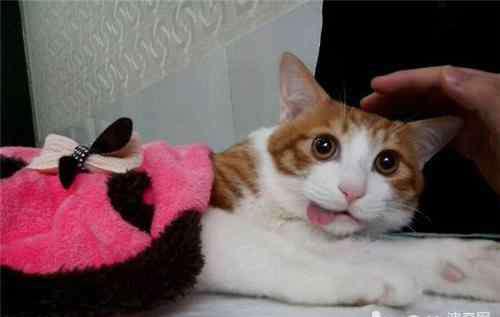 公猫绝育针 猫咪绝育针麻与气麻的对比