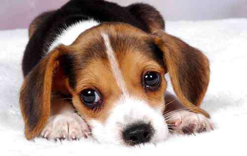眼睛红肿 狗狗眼睛红肿是由哪些因素引起