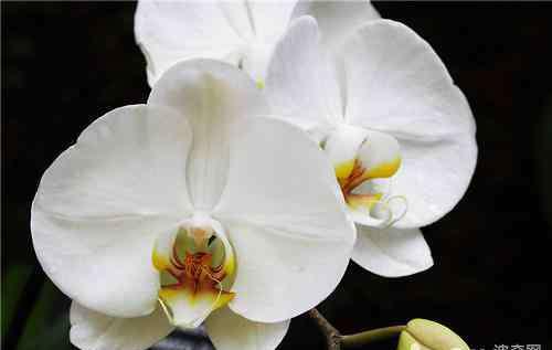 蝴蝶兰叶子发黄的原因和处理方法 蝴蝶兰烂根的处理方法