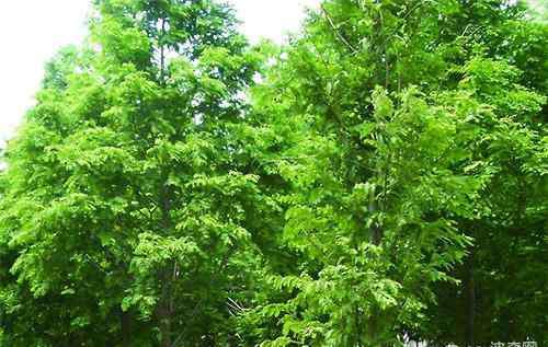 水杉移栽 水杉的用途习性及养护要点