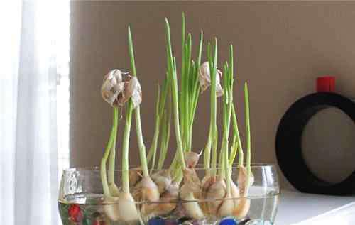 水培蒜苗 大蒜的水培方法介绍