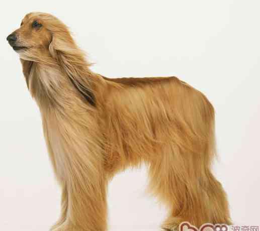 阿富汗猎犬图片 阿富汗猎犬有几种颜色