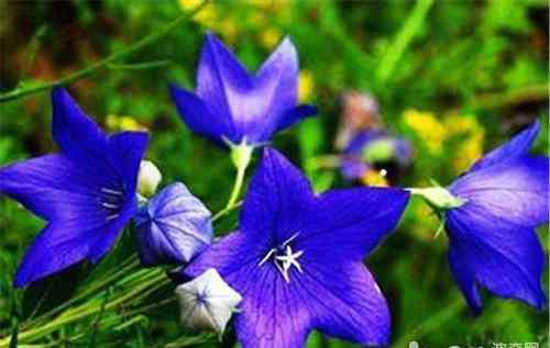 桔梗花的传说 桔梗花的传说及花语