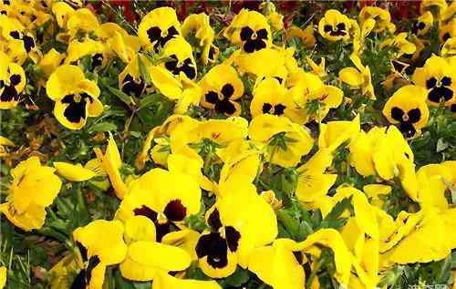 三色堇花 三色堇常见品种介绍