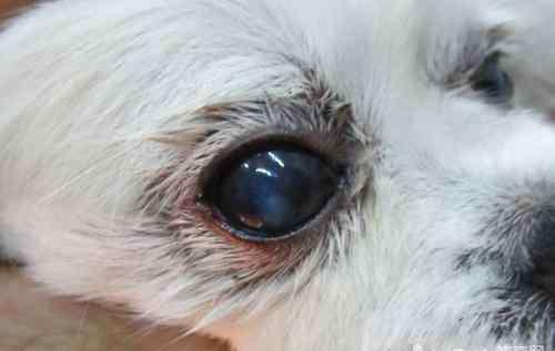眼角膜发炎 【医疗攻略】狗狗角膜发炎如何处理