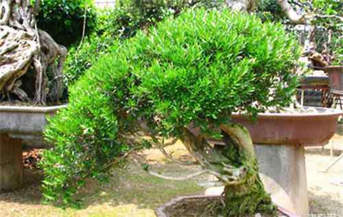 黄杨的养殖方法和注意事项 雀舌黄杨的养殖及修剪方法
