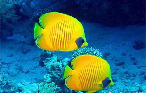 观赏鱼白点病怎么治 观赏鱼的白点病该如何治疗