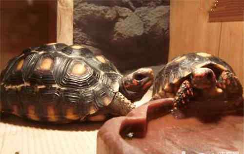 苏卡塔尔陆龟 如何鉴别陆龟雌雄?