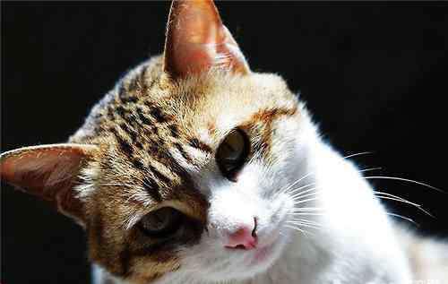 中国猫品种 中国本土的猫咪品种有哪些?
