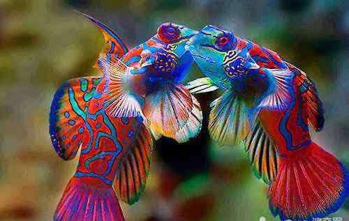 红青蛙 青蛙鱼饲养方法