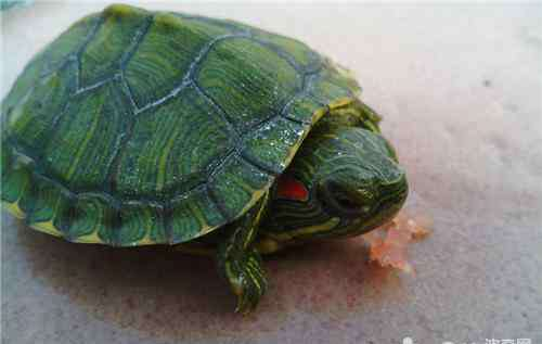 小乌龟吃什么 刚买回来的小龟应该吃什么?