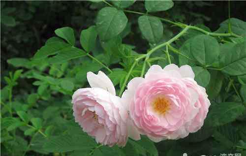 蔷薇花怎样扦插 蔷薇花的繁殖方法介绍