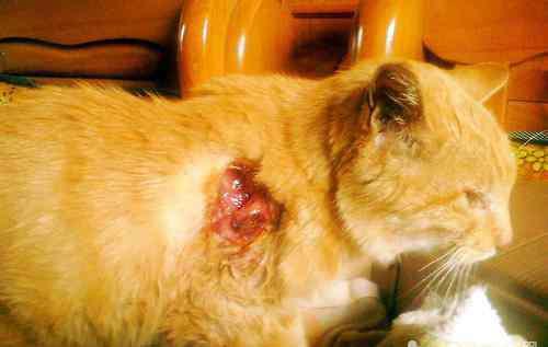 猫咪伤口流脓能自愈吗 猫咪受伤后伤口的处理方法