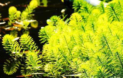 水蕴草 几种能对抗藻类的水草