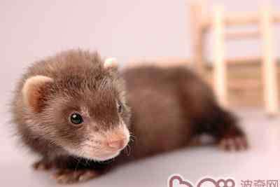 貂鼠 貂鼠的肢体语言代表的意义