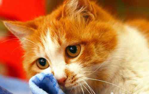 鱼油的效果 鱼油对猫咪的好处