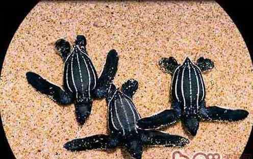 乌龟的资料 棱皮龟的基本资料