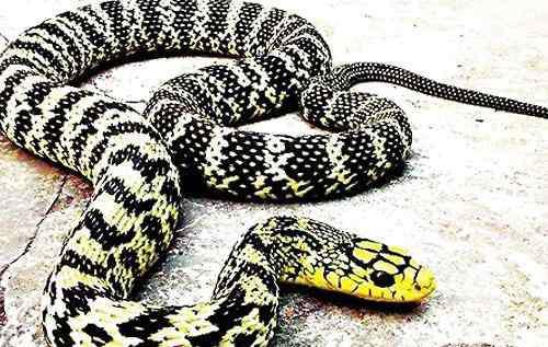 大王蛇养殖 怎么对待大王蛇开口难的问题