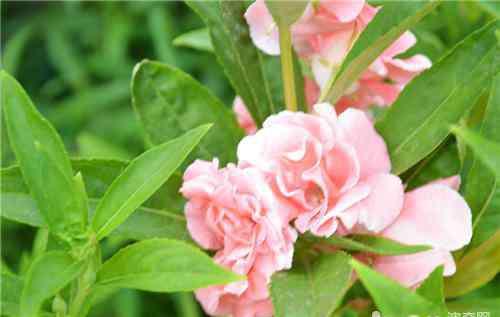 凤仙花的种植方法 凤仙花播种繁殖的方法及注意事项