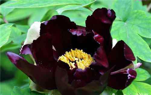 黑牡丹花 黑牡丹的植物文化及花语介绍