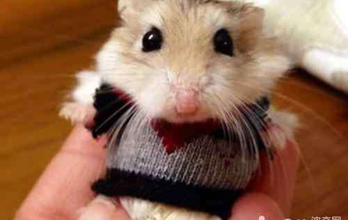 仓鼠衣服 怎么看待仓鼠衣服