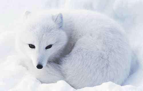 狐狸犬科 狐狸也会患犬瘟热?