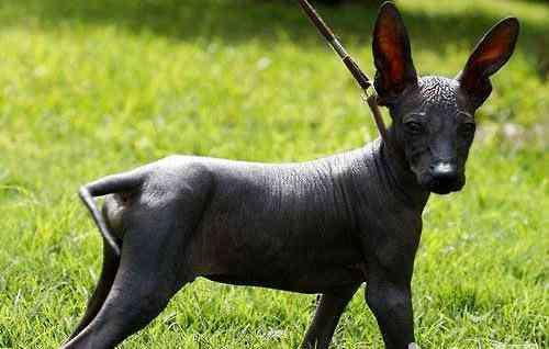 印加人 印加人的神犬——秘鲁无毛犬