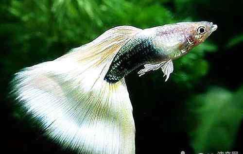 孔雀鱼温度多少合适 孔雀鱼最适宜的水温是多少?