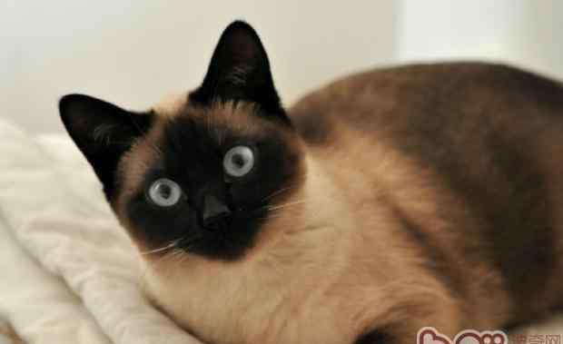 黑色的猫 暹罗猫一到冬天就脸黑