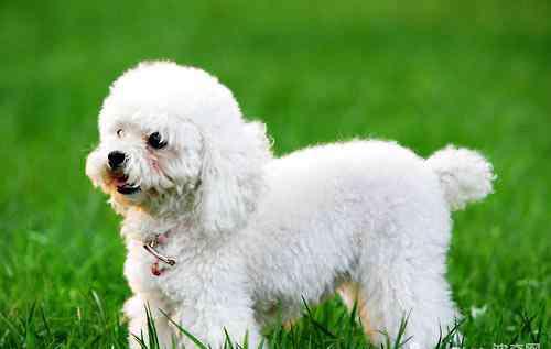 贵宾犬的禁忌 贵宾犬饮食禁忌有哪些?