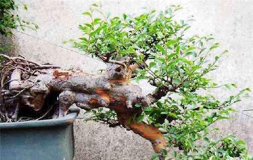 榆树盆景图片 榆树盆景的制作方法