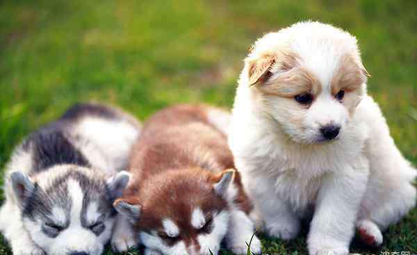 幼犬狗粮 幼犬奶糕和幼犬粮的区别