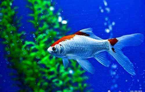 鱼鳍根部充血 鱼鳍充血的原因都有哪些?