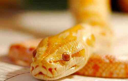 黄金蟒多少钱 黄金蟒多少钱?黄金蟒适合当宠物吗?