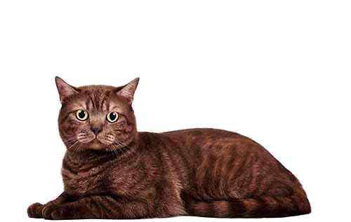 猫能吃巧克力嘛 猫咪可不可以吃巧克力?